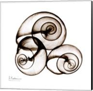 X-ray Snail Shells, Sepia Fine-Art Print