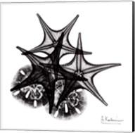 X-ray Starfish & Sand Dollar BW Fine-Art Print