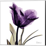 X-ray Royal Purple Parrot Tulip Fine-Art Print