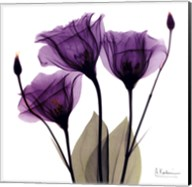 X-ray Royal Purple Gentian Fine-Art Print