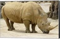 African Rhinoceros Fine-Art Print