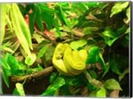 Green Tree Python Snake Fine-Art Print