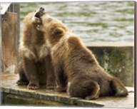 Grizzly Bear Cubs Fine-Art Print