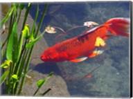 Red Goldfish Fine-Art Print