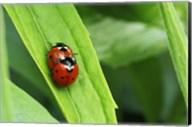 Two Ladybugs Fine-Art Print