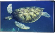 Green Sea Turtle swimming Fine-Art Print