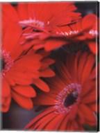 Red Gerbera Daisies I Fine-Art Print