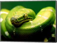 Light Green Emerald Tree Boa Snake Fine-Art Print