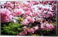 Close-up of cherry blossoms, Sumida River, Asakusa, Tokyo, Japan Fine-Art Print
