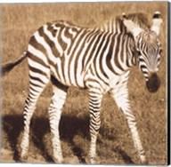 Young Zebra Fine-Art Print
