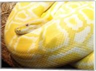 Albino Burmese Python Fine-Art Print