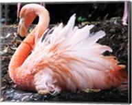 Broedende Rode Flamingo Fine-Art Print