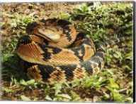 Bushmaster Snake Fine-Art Print