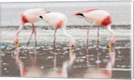 Flamingos Searching for Food Fine-Art Print