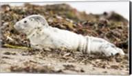 Harbor Seal Pup Fine-Art Print