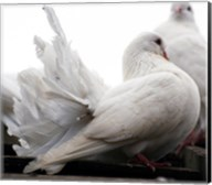 Little White Dove, Colchester Zoo Fine-Art Print