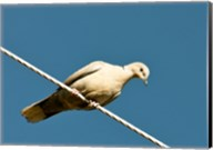 The Early Evening Eurasian Collared Dove Fine-Art Print