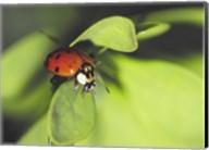 Close-up of a ladybug on a leaf Fine-Art Print