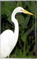 Close-up of a Great Egret Fine-Art Print
