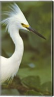 Close-up of a Snowy Egret Fine-Art Print