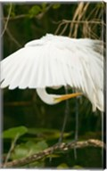 Close-up of a Great White Egret Fine-Art Print
