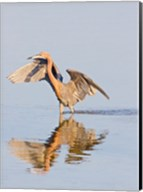 Reflection of Reddish Egret in Water Fine-Art Print