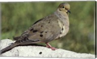 Mourning Dove Fine-Art Print