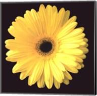 Gerbera Diasy Yellow Fine-Art Print