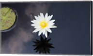 Lotus Yin-Yang Fine-Art Print