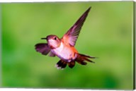 Close-up of a Rufous hummingbird flying Fine-Art Print