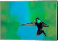 Magnificent hummingbird in flight, Arizona, USA Fine-Art Print