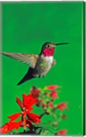 Broad-Tailed hummingbird hovering over flowers, Arizona, USA Fine-Art Print