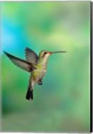 Close-up of a Broad-Billed hummingbird, Arizona, USA Fine-Art Print