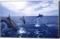 Bottle-Nosed Dolphins Leaping Fine-Art Print