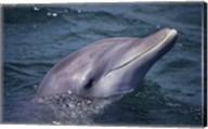 Bottle-Nosed Dolphin Face Fine-Art Print