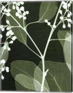 Eucalyptus Buds II Fine-Art Print