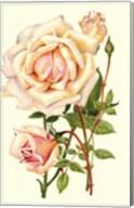 Victorian Rose III Fine-Art Print
