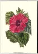 Antique Hibiscus II Fine-Art Print