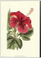 Antique Hibiscus I Fine-Art Print