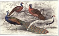 Peacock & Pheasants Fine-Art Print