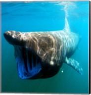 Basking Shark Fine-Art Print