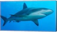 Carribbean Reef Shark Fine-Art Print