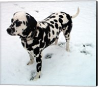 Dalmatian in Snow Fine-Art Print