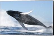 Humpback Whale Jumping Fine-Art Print