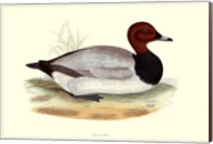 Pochard Fine-Art Print