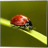 Ladybug On Blade Of Grass Fine-Art Print
