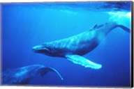 Humpback whales in the singing position Fine-Art Print