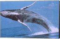 Humpback whale breaching Fine-Art Print