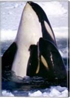 Type C Orcas Fine-Art Print