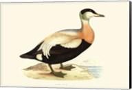 Eider Duck Fine-Art Print